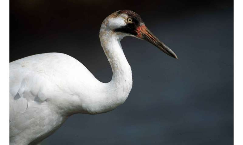 whooping crane