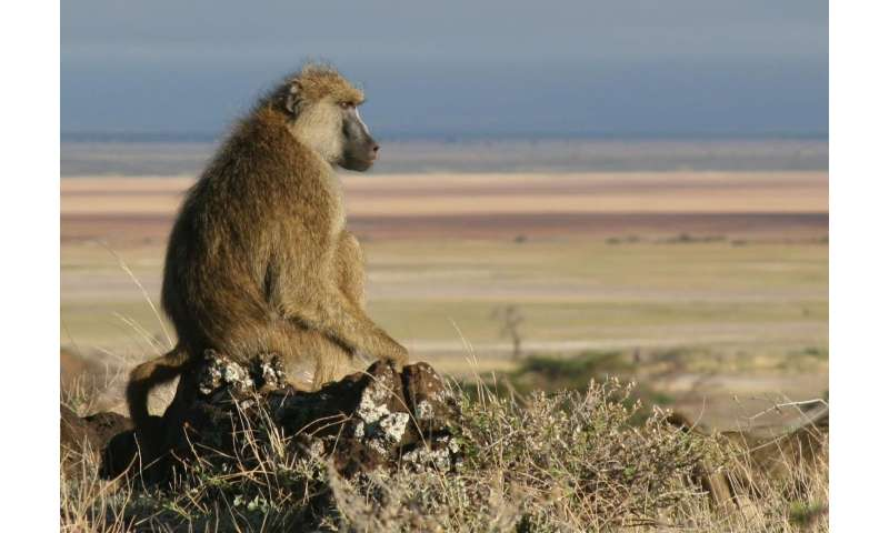 Why baboon males resort to domestic violence
