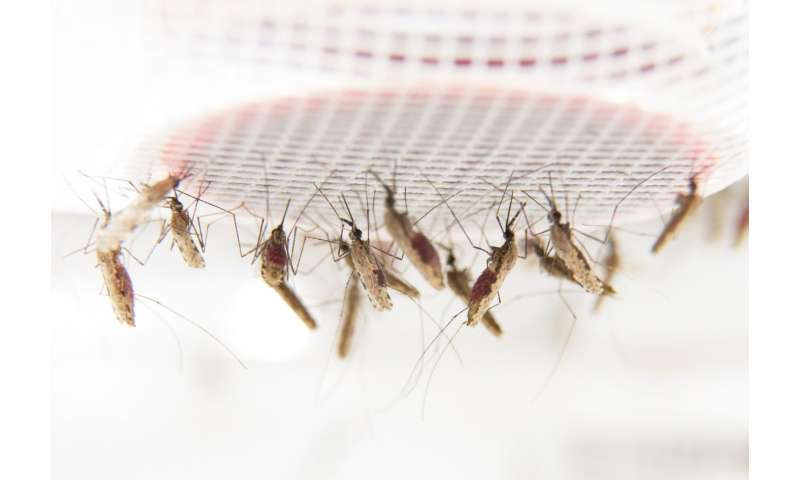 Why malaria mosquitoes like people with malaria