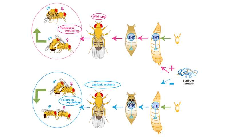 Why Platonic Flies Don T Copulate And What That Could Mean