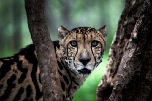 Wild cats including endangered cheetahs are known to have been domesticated in the UAE and neighbouring Gulf countries, with som