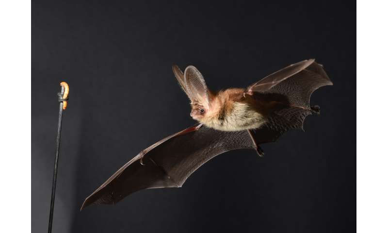 Winging it: How do bats out-maneuver their prey?