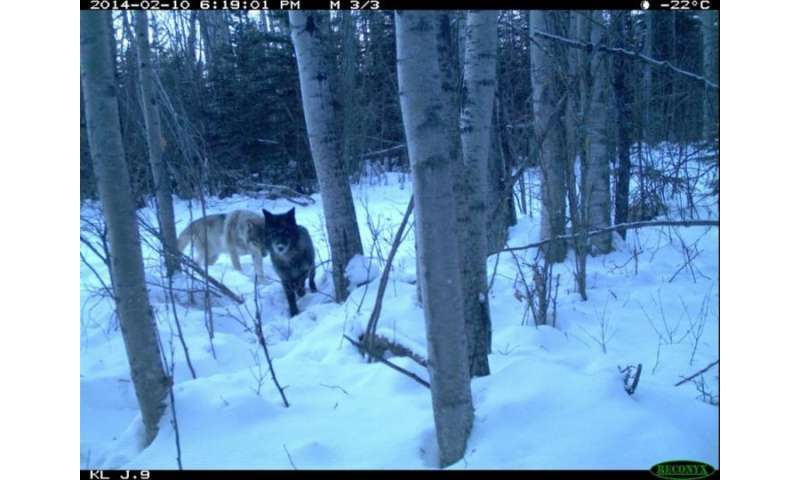 Wolf behaviour undeterred by tailings ponds and pit mines