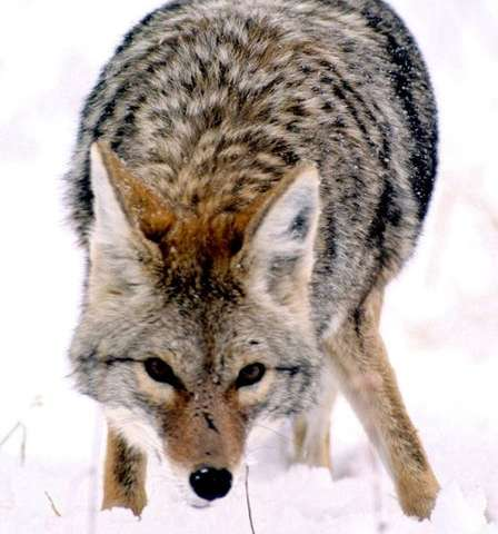 "Wolf evolution and ""settled science"""