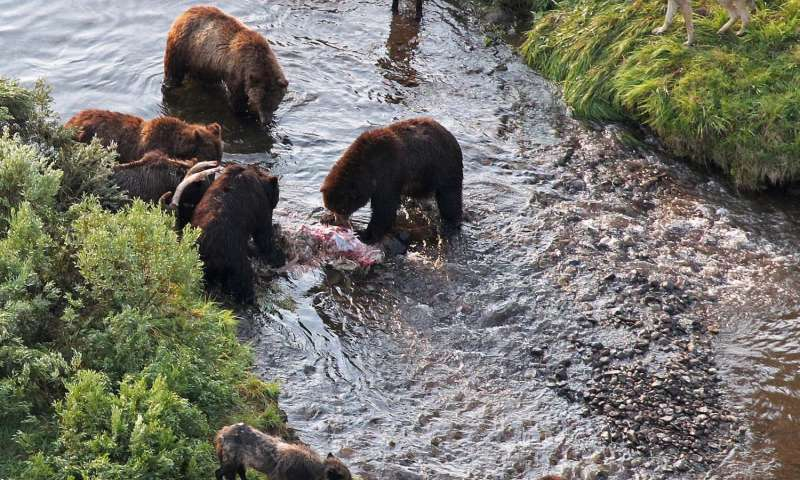 Wolfing it Down: Brown Bears Reduce Wolf Kill Rates says USU Ecologist