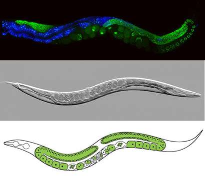 Worm studies investigate how grandparents' experiences can affect our genes