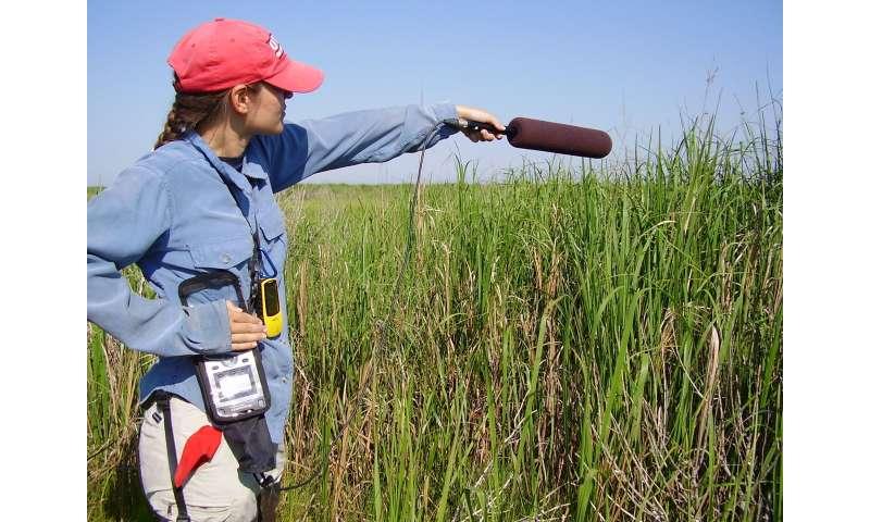 Wrens' calls reveal subtle differences between subspecies