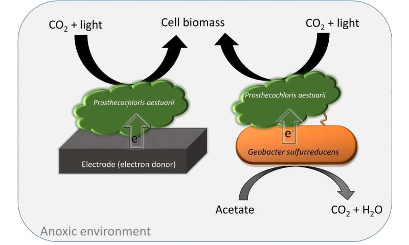 WSU researchers discover unique microbial photosynthesis