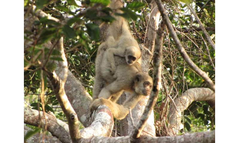 Yellow fever killing thousands of monkeys in Brazil