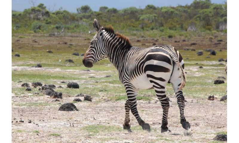 Zebra 'poo science' improves conservation efforts