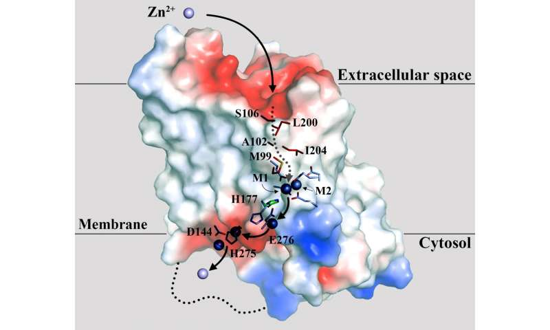 Zinc transporter key to fighting pancreatic cancer and more