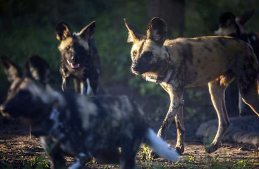 African wild dogs make comeback at Mozambican wildlife park