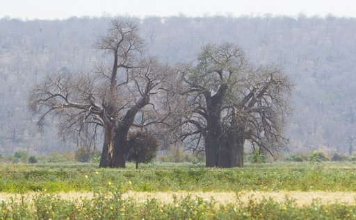 Africa's iconic baobab trees dying off at alarming rate