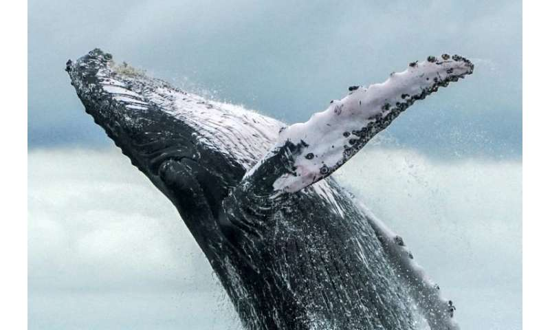 A humpback whale jumps in the surface of the Pacific Ocean at the Uramba Bahia Malaga National Natural Park in Colombia