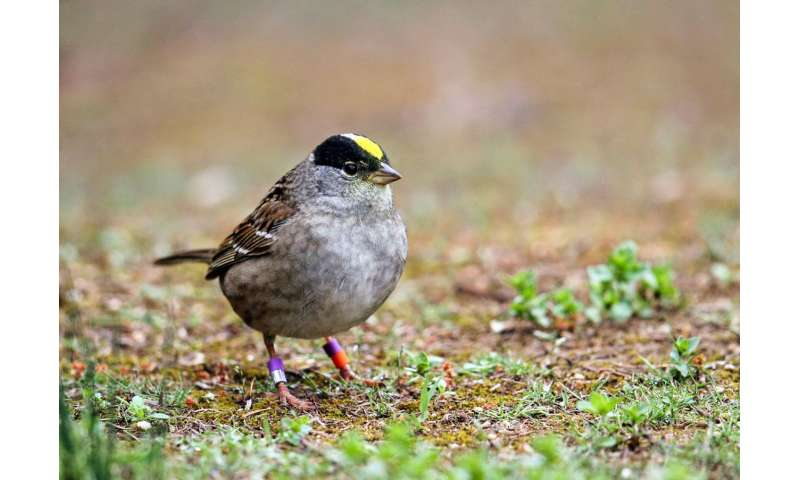 Among golden-crowned sparrows, a false crown only fools strangers