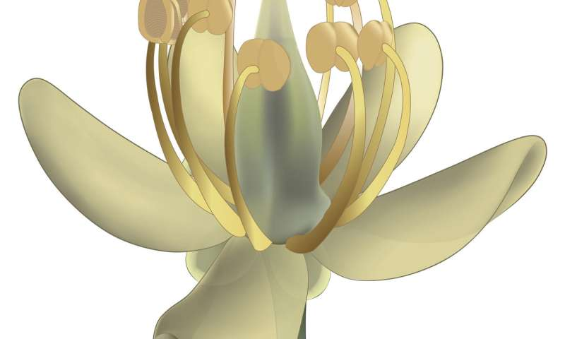 Ancient flower fossil points to Core Eudicot Boom 99 million years ago