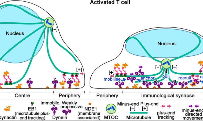 A new molecular player involved in T cell activation