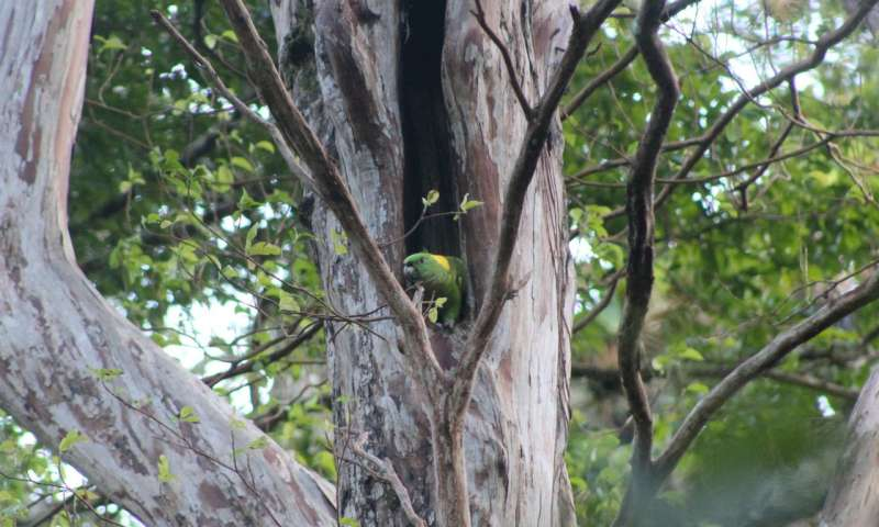 An island of hope for the yellow-naped parrot