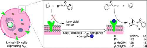 Artificial enzymes perform reactions on living cells