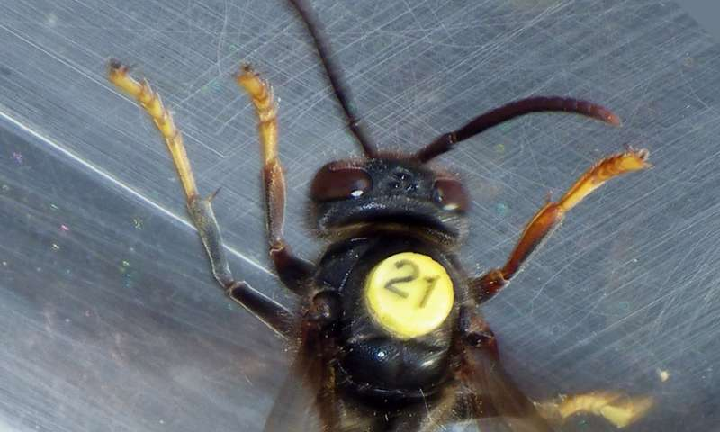 Asian hornet nests found by radio-tracking