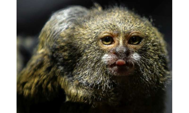 A titi pigmeo monkey (Cebuella Pygmaea) is pictured at a zoo in Medellin, Colombia, which is hosting a major international biodi