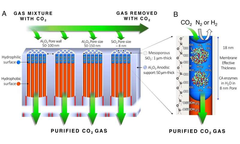Biologically inspired membrane purges coal-fired smoke of greenhouse gases