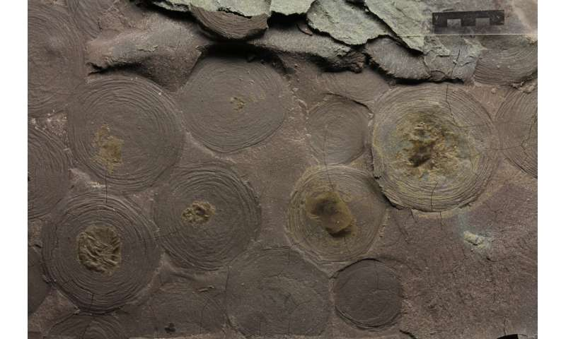 Biomarkers helped solving the mystery of 500-million-year-old macroorganisms
