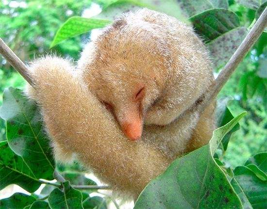 Brazilian study discovers six new species of silky antieaters