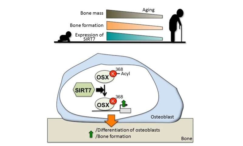 Breaking osteoporosis: New mechanism activates bone-building cells