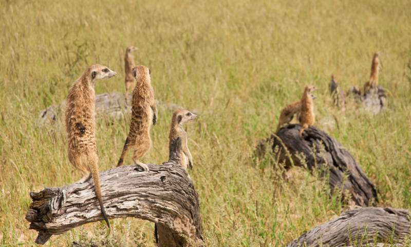 Breeder meerkats age faster, but their subordinates still die younger