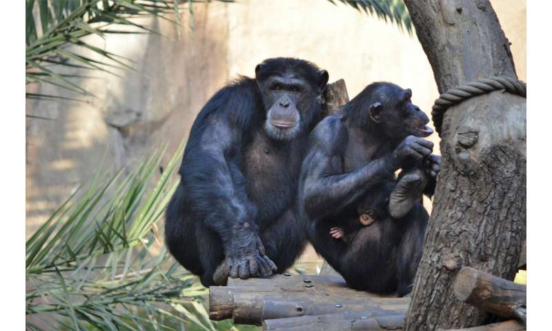 Chimpanzees sniff out strangers and family members