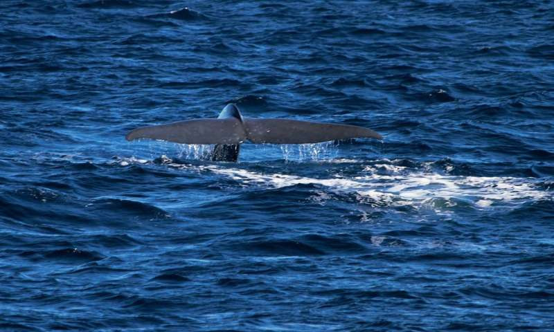 Clues from an endangered blue whale population
