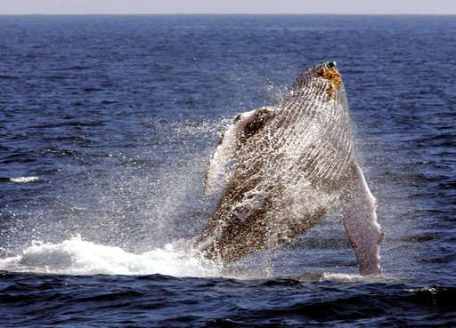 Clues sought for decline in Hawaii humpback whale sightings