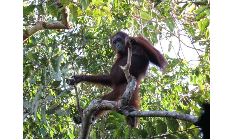 Contrary to government report, orangutans continue to decline