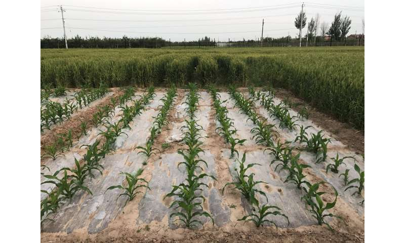 Corn with straw mulch builds yield, soil carbon
