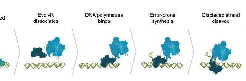 CRISPR diversifies: Cut, paste, on, off, and now—evolve