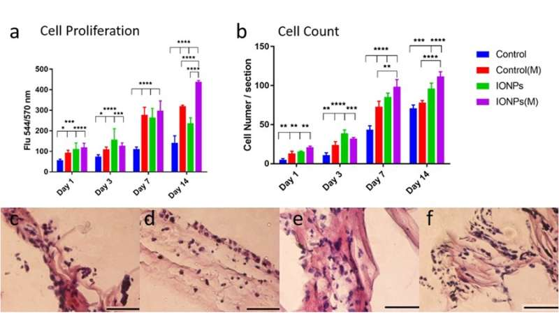 Developing a 3D collagen model to test magnetic-assisted osteogenesis in vitro
