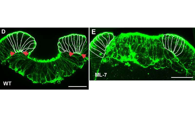 Embryonic gene regulation through mechanical forces
