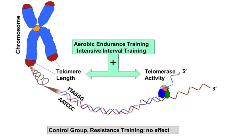 Endurance but not resistance training has anti-aging effects