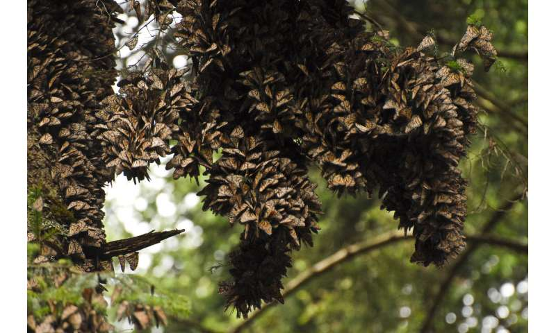 Florida monarch butterfly populations have dropped 80 percent since 2005