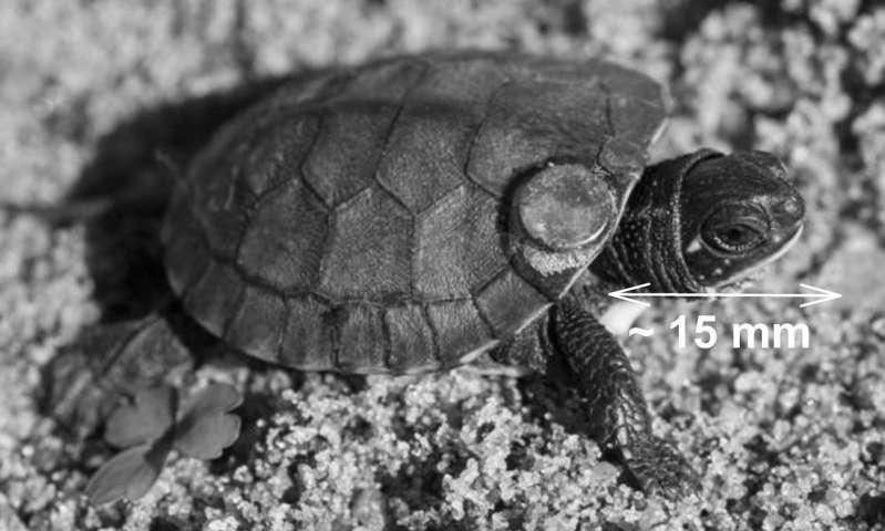 Freshwater turtles navigate using the sun