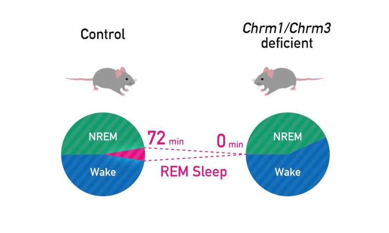 Genes that regulate how much we dream