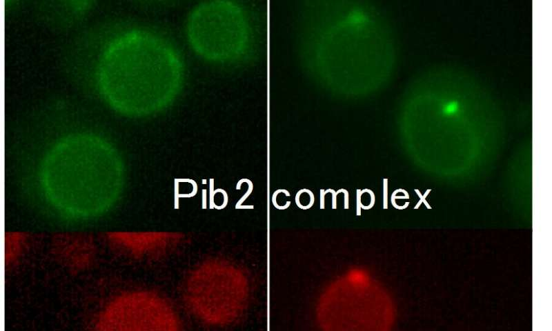 Glutamine-dependent activation of cell growth discovered