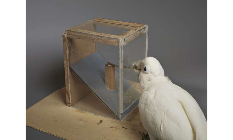 Goffin's cockatoos can create and manipulate novel tools