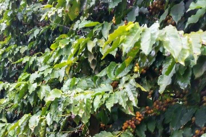 'Ground coffee' with soil perks in Brazil