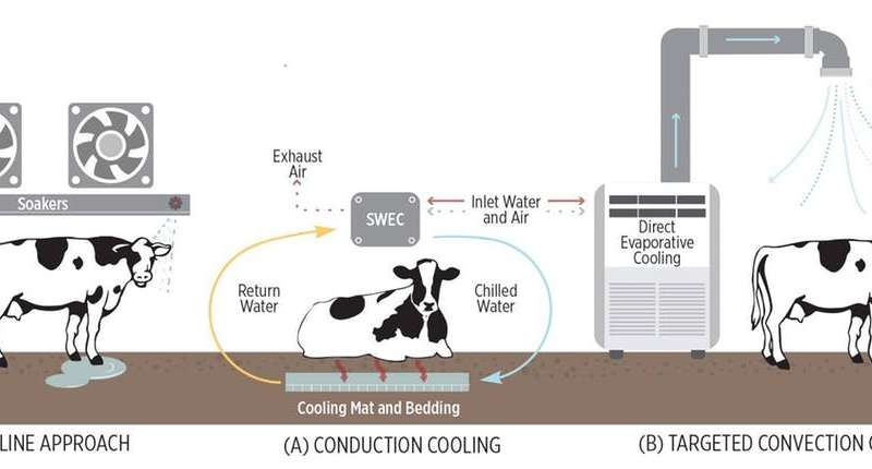 Heat is a serious threat to dairy cows – we're finding innovative ways to keep them cool