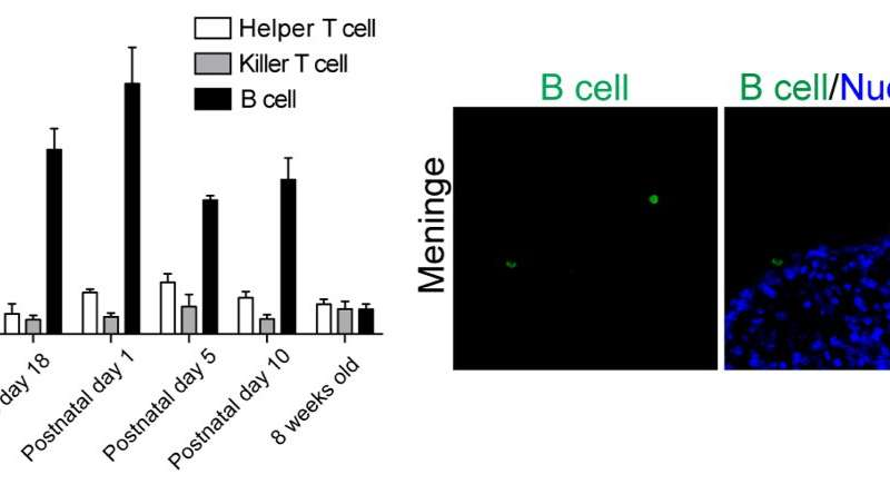 Helpful B cells lend a hand to developing neurons