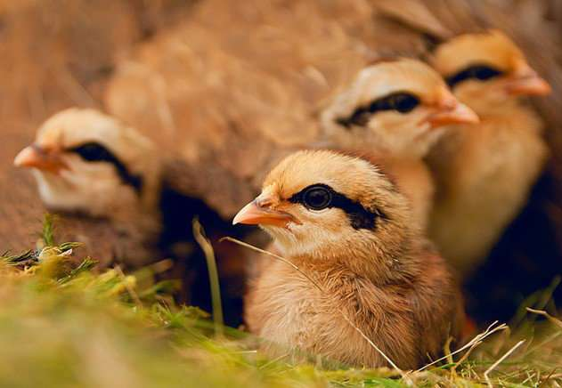Heritability explains fast-learning chicks