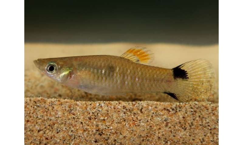 How did the guppy cross the ocean?: An unexpected fish appears on a volcanic archipelago
