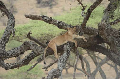 Human and lion conflict in the Serengeti